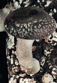 гриб, гриб на дереве, шиитаке
