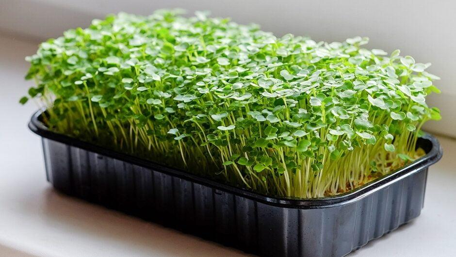 Польза микрозелени и как ее вырастить
