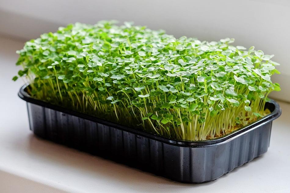 Микрозелень или микрогрин несмотря на свой небольшой размер обладает отличными питательными свойствами и отлично подходит для диет.